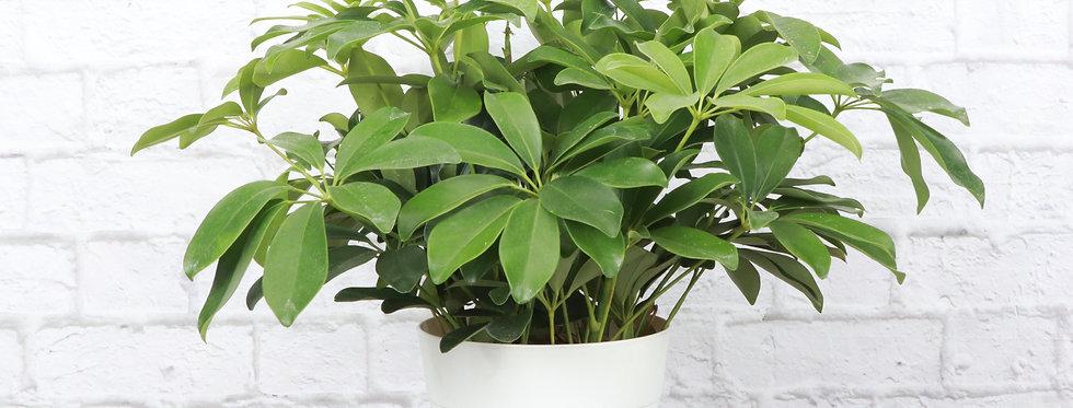Schefflera Arboricola, Umbrella Tree Plant in Contemporary Pot