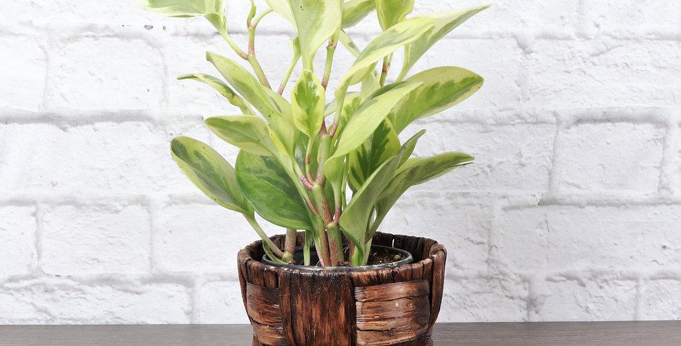 Peperomia Obtusifolia Variegata, Variegated Peperomia in Banana Leaf Basket