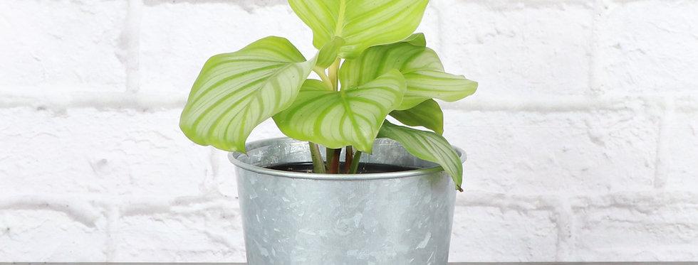 Calathea Orbifolia in Galvanized Steel Pot