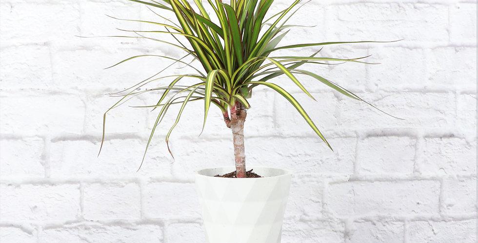 Dracaena Marginata 'Kiwi' in Modern White Planter