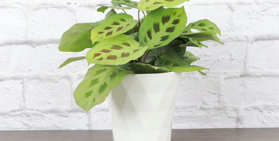 Maranta Leuconeura, Green Prayer Plant in Modern White Planter