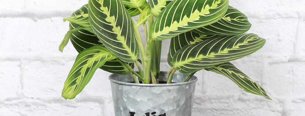 """Maranta Leuconeura, Lemon Lime Prayer Plant """"I Dig You"""""""