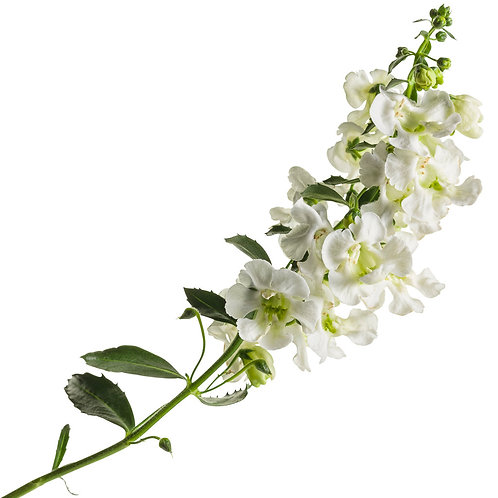 "4.5"" Angelonia Angelface White"