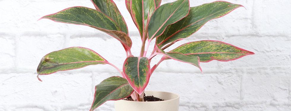 Aglaonema Red Siam Aura in Eco Pot