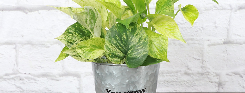 """Marble Queen Pothos, Devil's Ivy Plant """"You Grow Girl"""""""