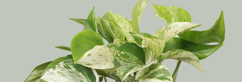 Marble Queen Pothos, Devil's Ivy Plant