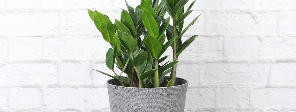 Zamioculcas Zamiifolia, ZZ Plant in Classic Gray Pot
