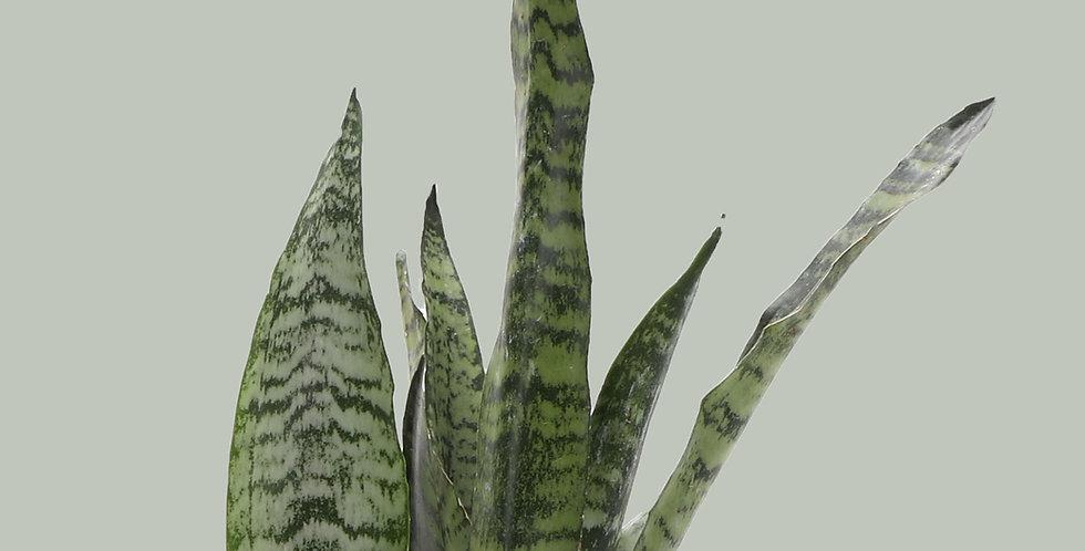 SansevieriaZeylancia, Snake Plant