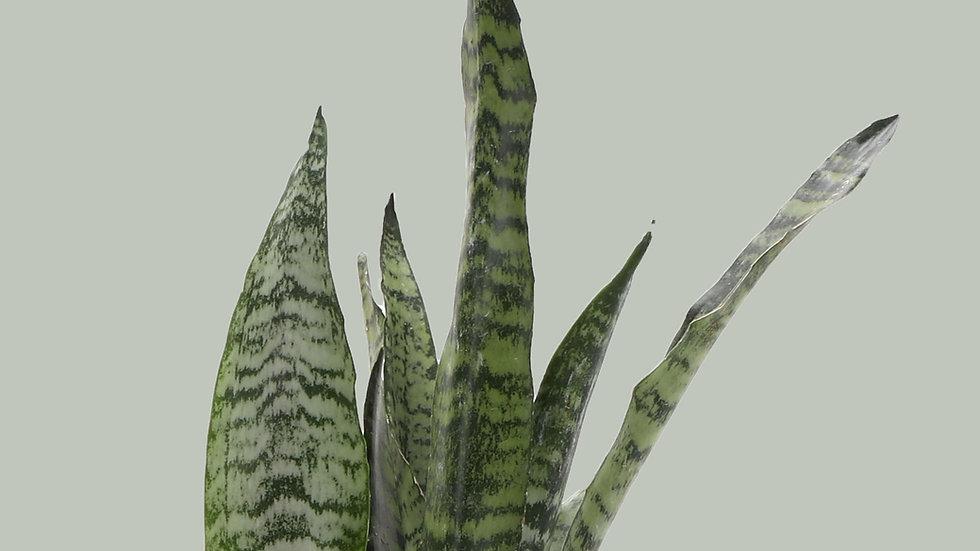 Snake Zeylancia Plant
