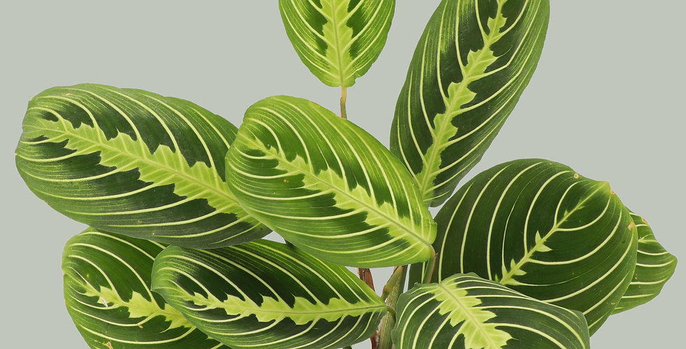 Maranta Leuconeura, Lemon Lime Prayer Plant