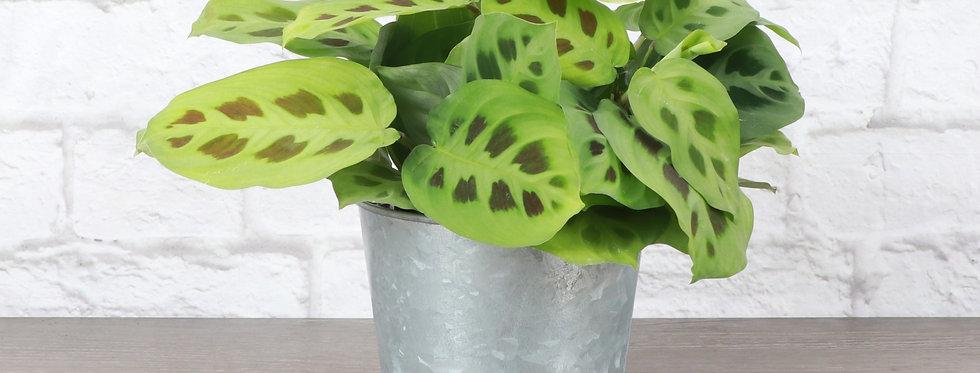 Maranta Leuconeura, Green Prayer Plant in Galvanized Steel Pot