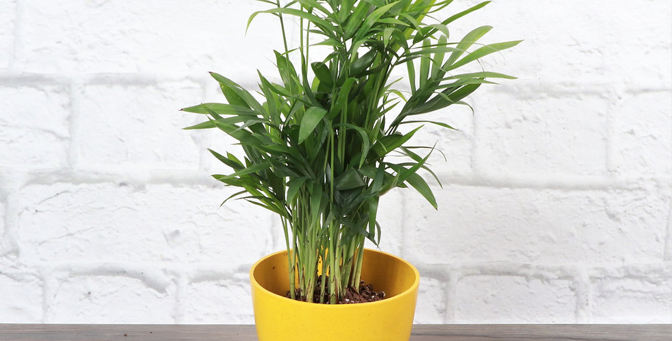 Chamaedorea Elegans, Parlor Palm in Eco Pot