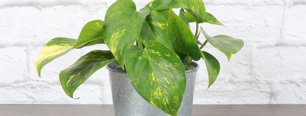 Golden Pothos, Devil's Ivy Plant in Galvanized Steel Pot