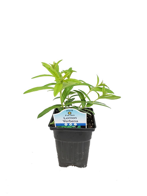 "3"" Lemon Verbena"