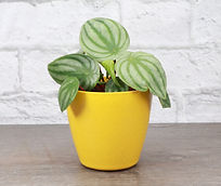 Watermelon Peperomia plant in a yellow pot