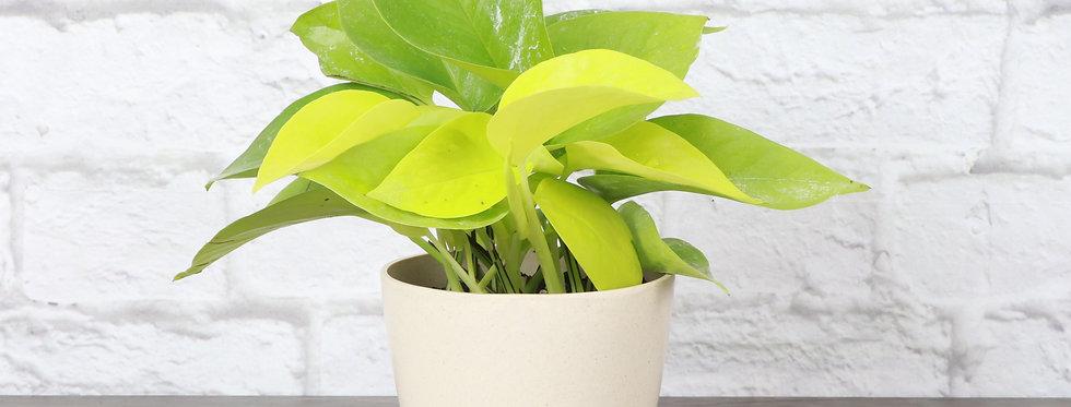 Epipremnum Aureum, Neon Pothos Plant in Eco Pot