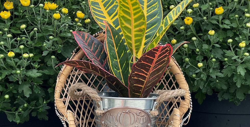 Petra Croton Plant, Pumpkin Pot
