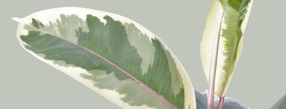 Ficus Elastica, Tineke Rubber Plant