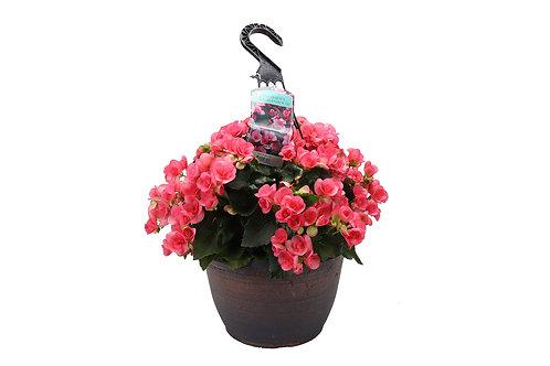 "12"" Reiger Begonia Hanging Basket"