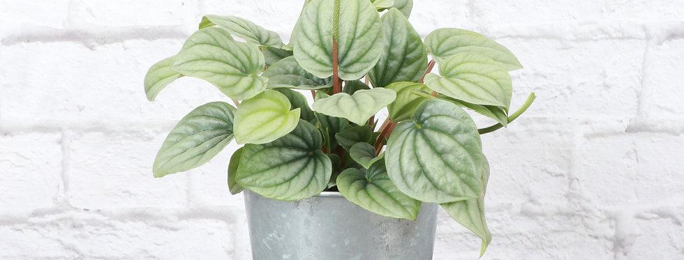 Peperomia Caperata, Peperomia Frost in Galvanized Steel Pot