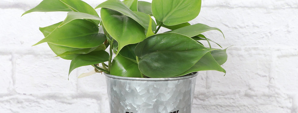 """Philodendron Hederaceum, Green Heartleaf Philodendron """"You Grow Girl"""""""