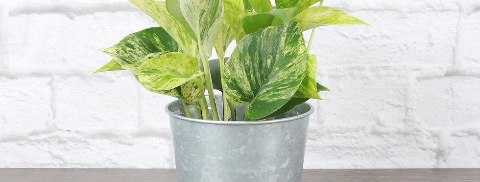 Marble Queen Pothos, Devil's Ivy Plant in Galvanized Steel Pot