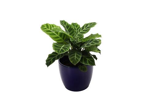 Calathea Zebrina, Blue Pot