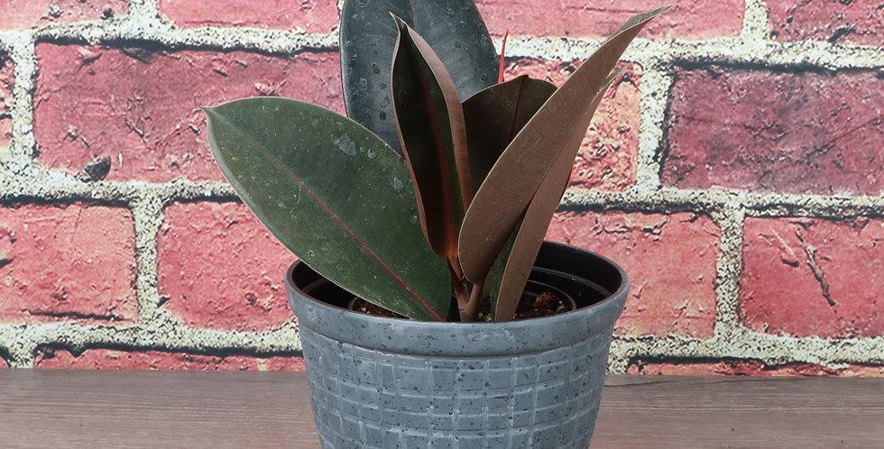 Ficus Elastica, Burgundy Rubber Plant in Rustic Planter