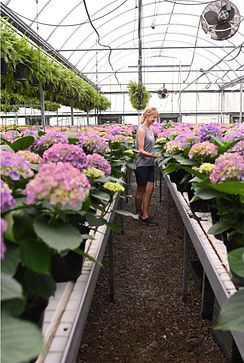 Woman inspecting hydrangea flowers in a greenhouse