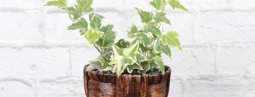 Hedera Helix 'Variegata', Variegated English Ivy in Banana Leaf Basket