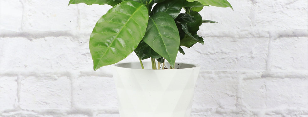 Coffea Arabica, Coffee Plant in Modern White Planter