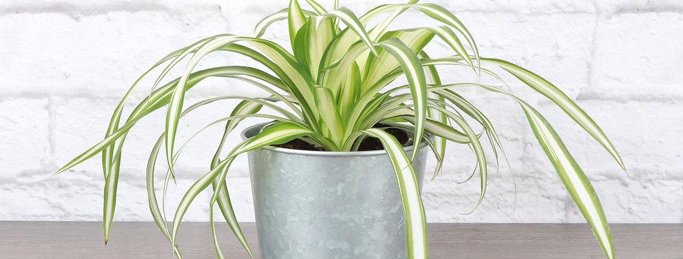 Chlorophytum Comosum, Spider Plant in Galvanized Steel Pot