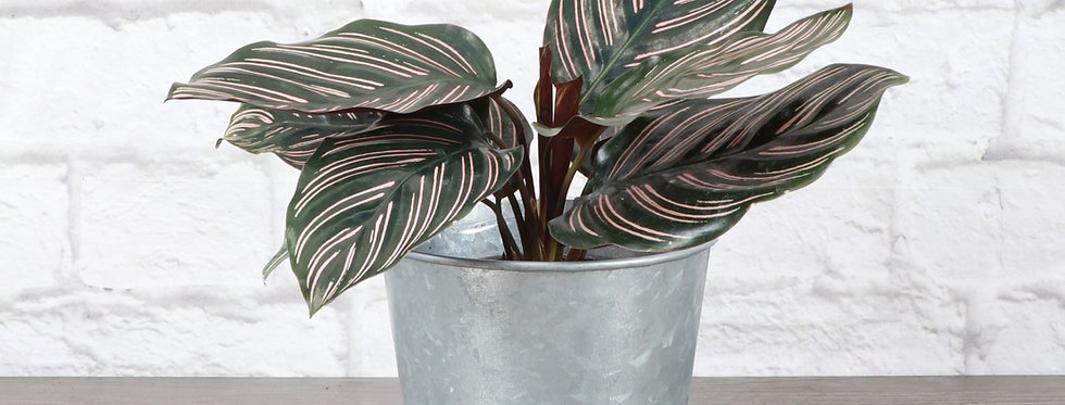 Calathea Ornata, Pink Pinstripe Calathea Plant in Galvanized Steel Pot