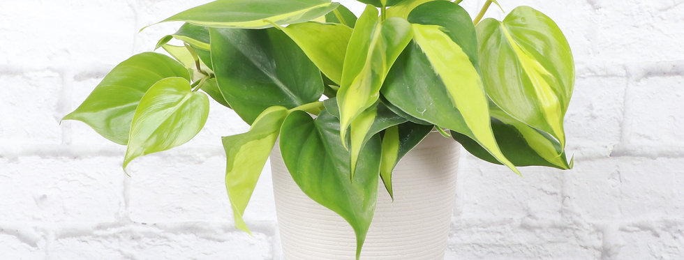 Philodendron Hederaceum, Brazil Philodendron in Farmhouse Planter