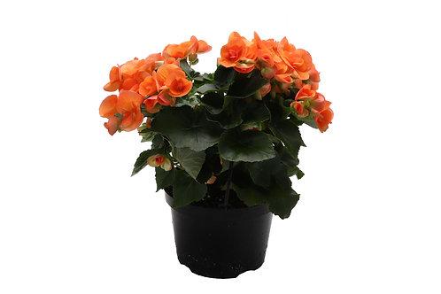 Reiger Begonias, Large