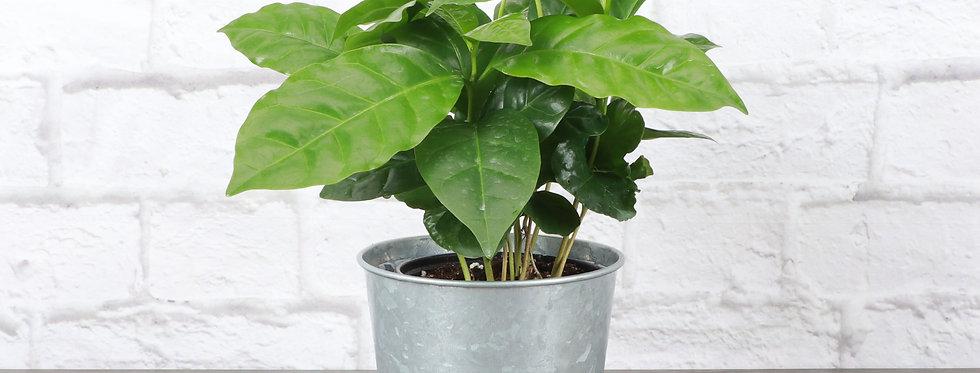 Coffea Arabica, Coffee Plant in Galvanized Steel Pot