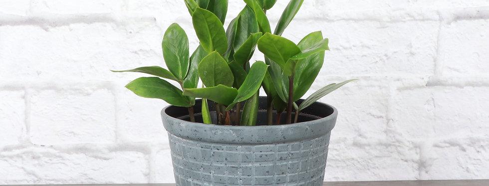 Zamioculcas Zamiifolia, ZZ Plant in Rustic Planter