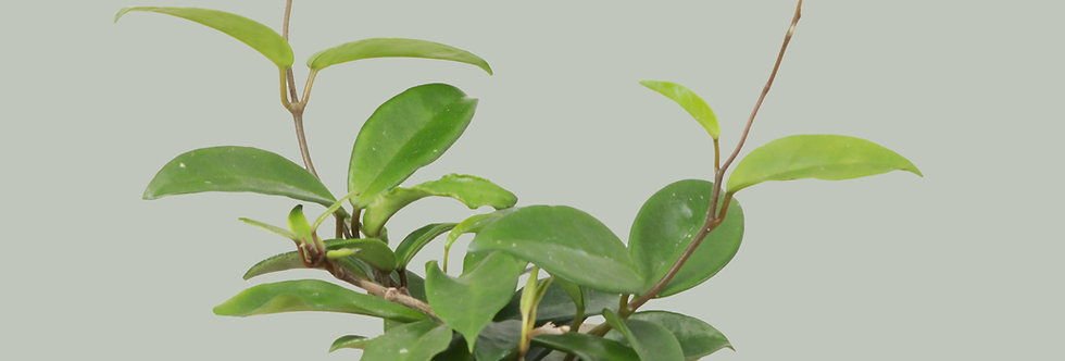 Hoya Carnosa, Green Hoya