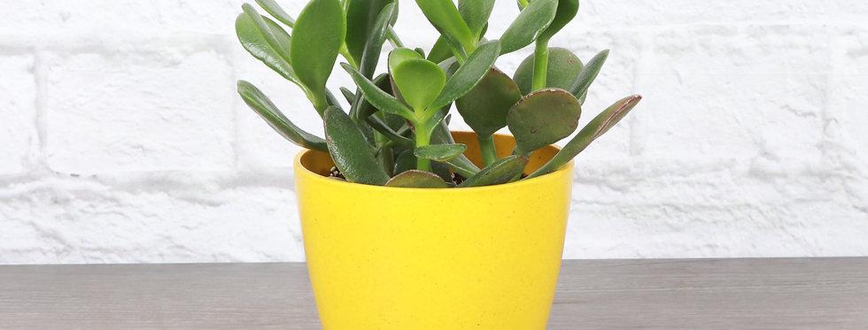 Crassula Ovata, Jade Plant in Eco Pot