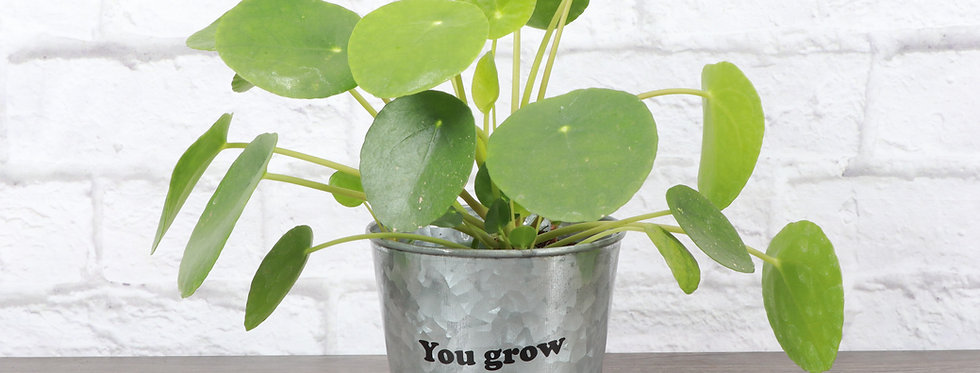 """Pilea Peperomioides, Chinese Money Plant """"You Grow Girl"""""""