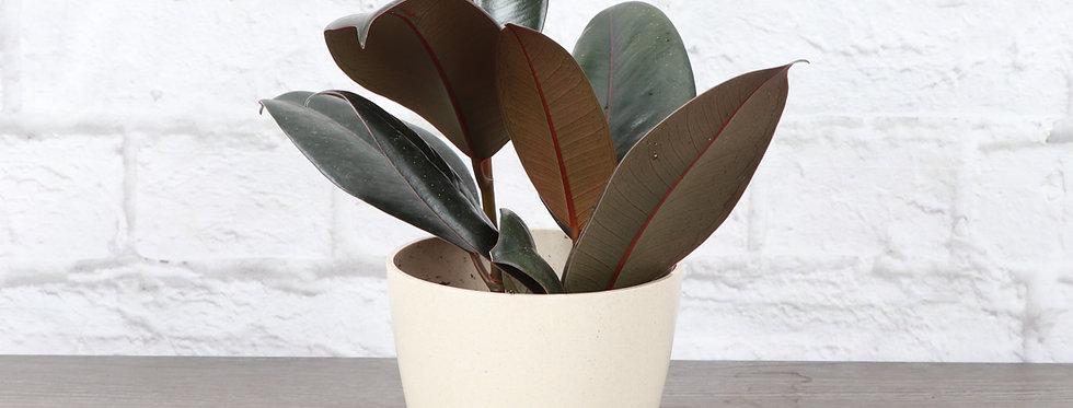 Ficus Elastica, Burgundy Rubber Plant in Eco Pot