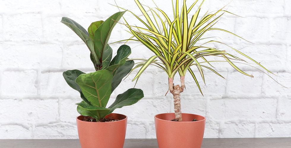 Exotic Houseplant Duo