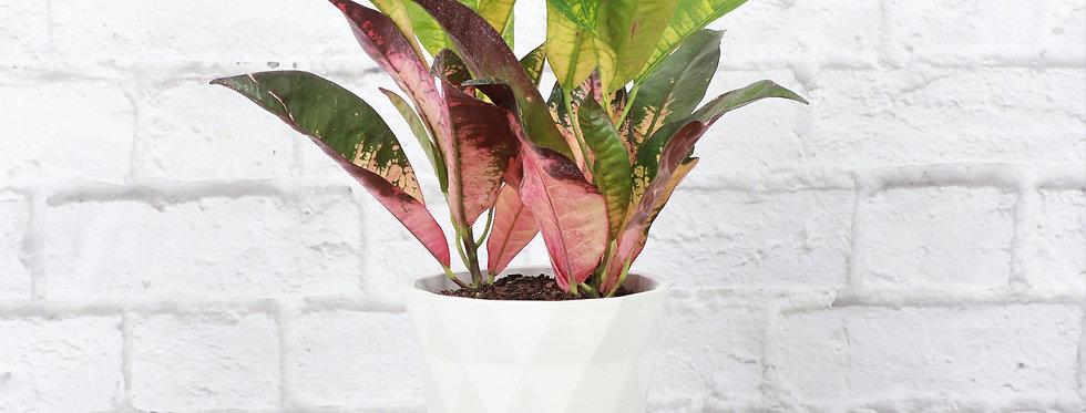 Codiaeum Variegatum, Iceton Croton Plant in Modern White Planter