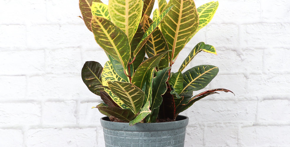 Codiaeum Variegatum, Petra Croton Plant in Large Rustic Planter