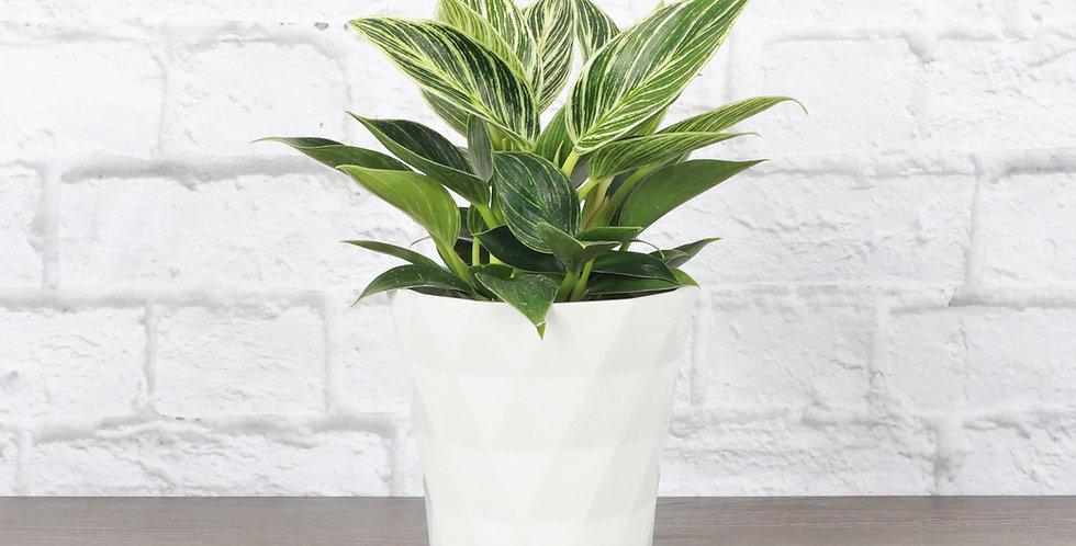 Philodendron 'Birkin' in Modern White Planter