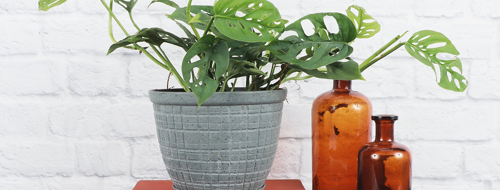 Monstera Adansonii, Swiss Cheese Plant in Large Rustic Planter