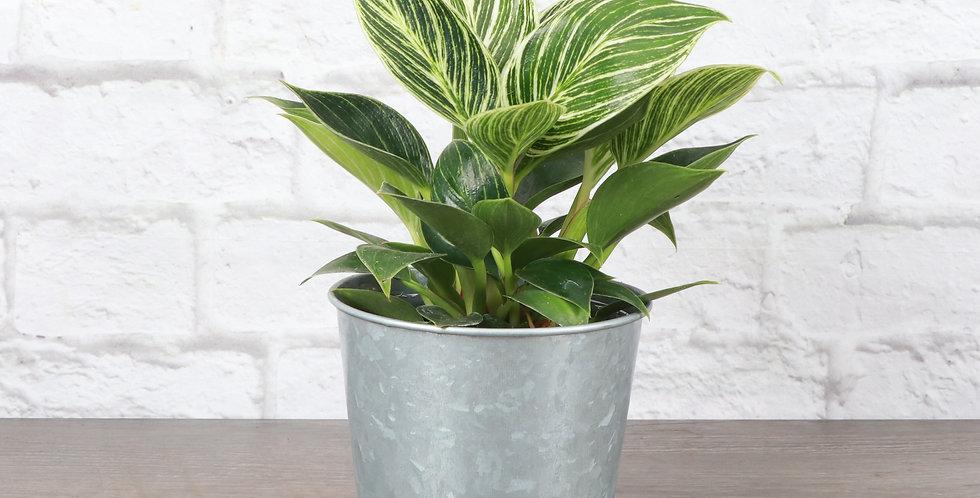 Philodendron 'Birkin' in Galvanized Steel Pot