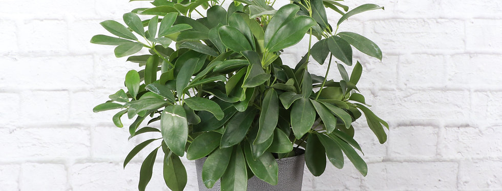 Schefflera Arboricola, Umbrella Tree Plant in Classic Gray Pot