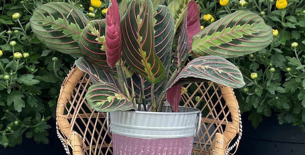 Red Prayer Plant, Purple Stripe Fall Pot