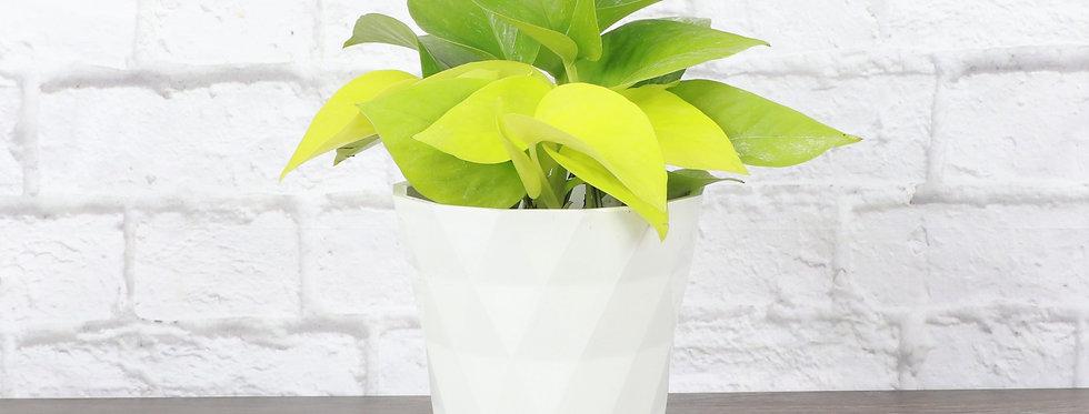 Epipremnum Aureum, Neon Pothos Plant in Modern White Planter